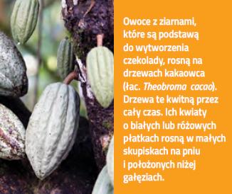 drzewo kakaowca będące składnikiem czekolady